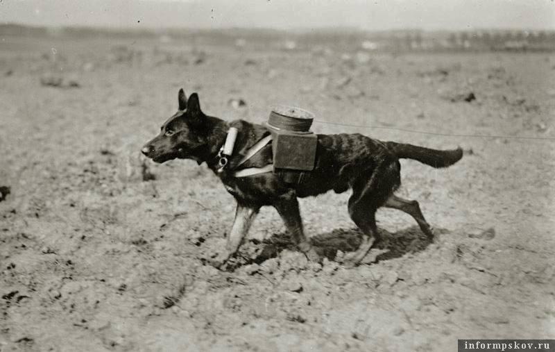 Собака службы связи. Фото с сайта sobstvennik.org