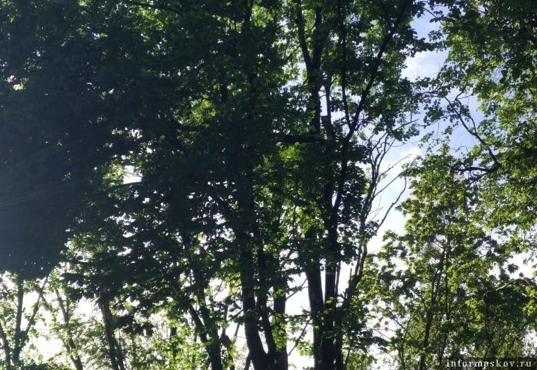 Часть дерева ветер сломал в Пскове возле Зелёного театра. Фото: Максим Л.