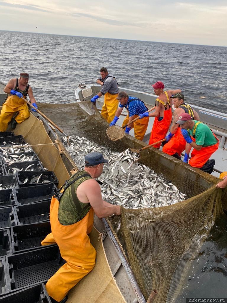 Добыча ряпушки в Чудском озере увеличилась.Фото Игоря Макеева.
