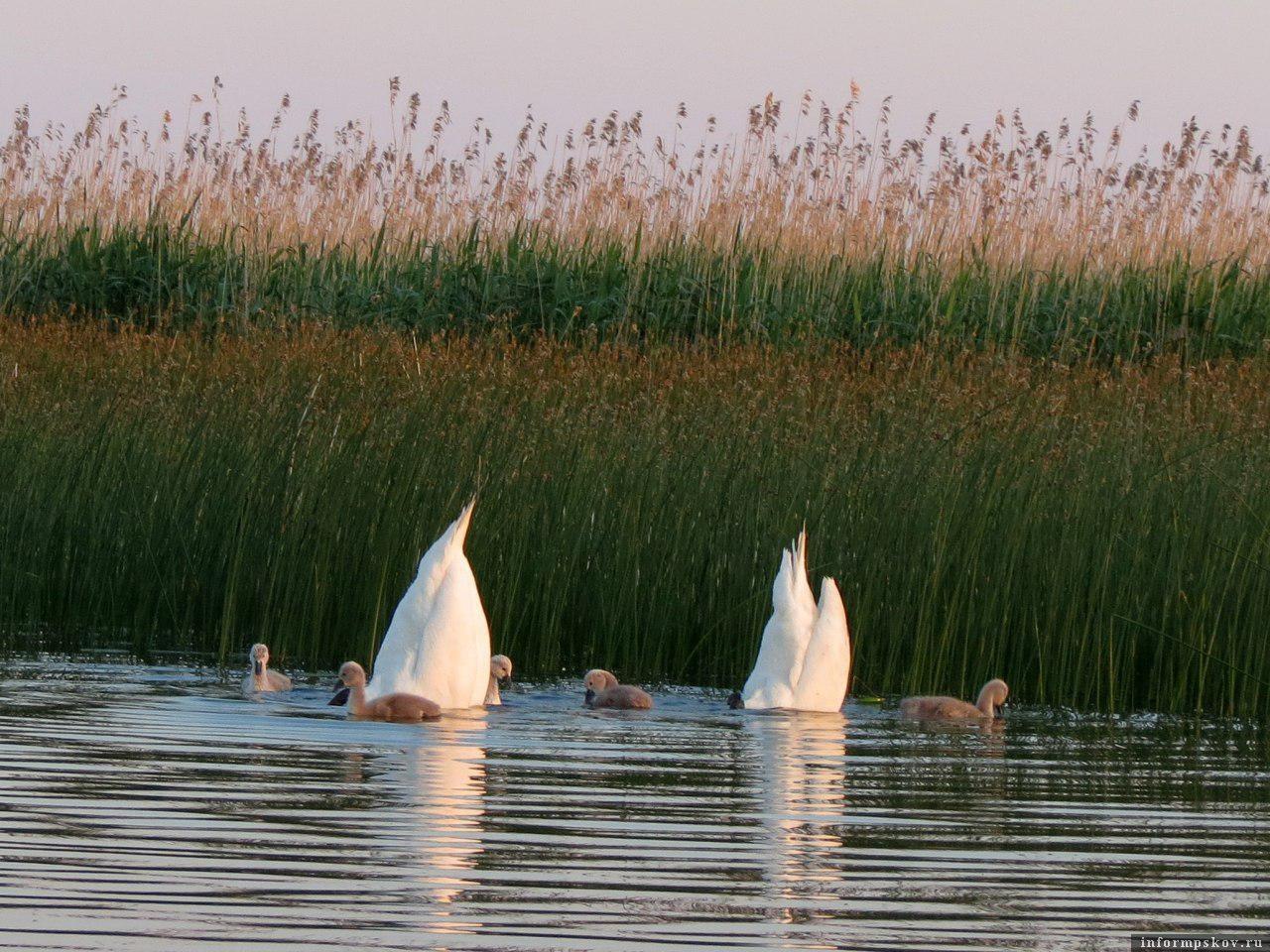 Это лебединое семейство я вижу почти на каждой рыбалке. Наблюдать за ними очень любопытно.