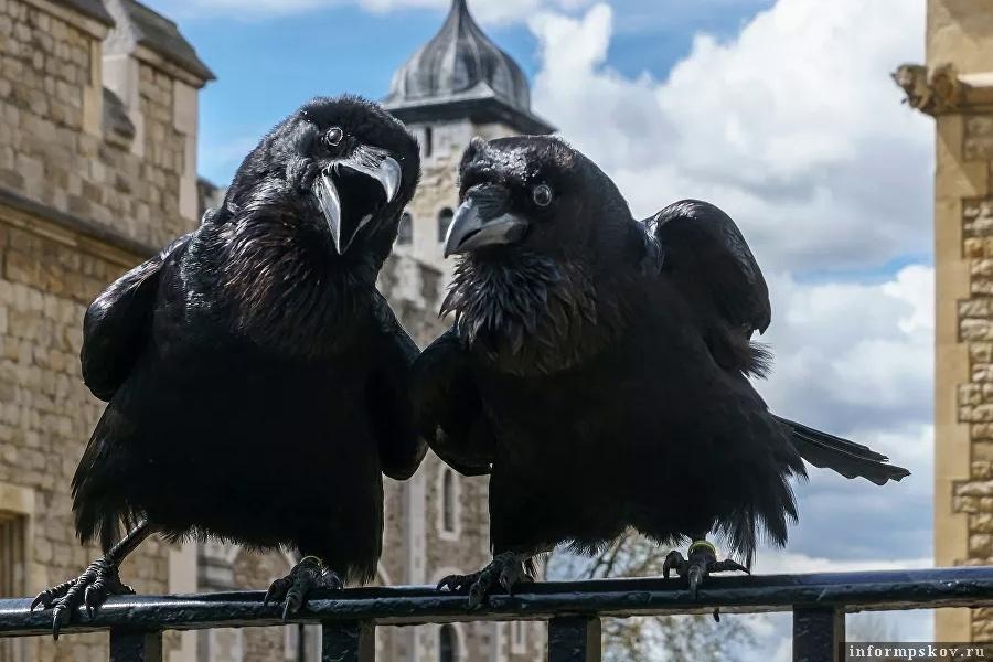 Вороны Тауэра. Фото CC BY-SA 2.0 / User:Colin / Jubilee and Munin, Ravens, Tower of London