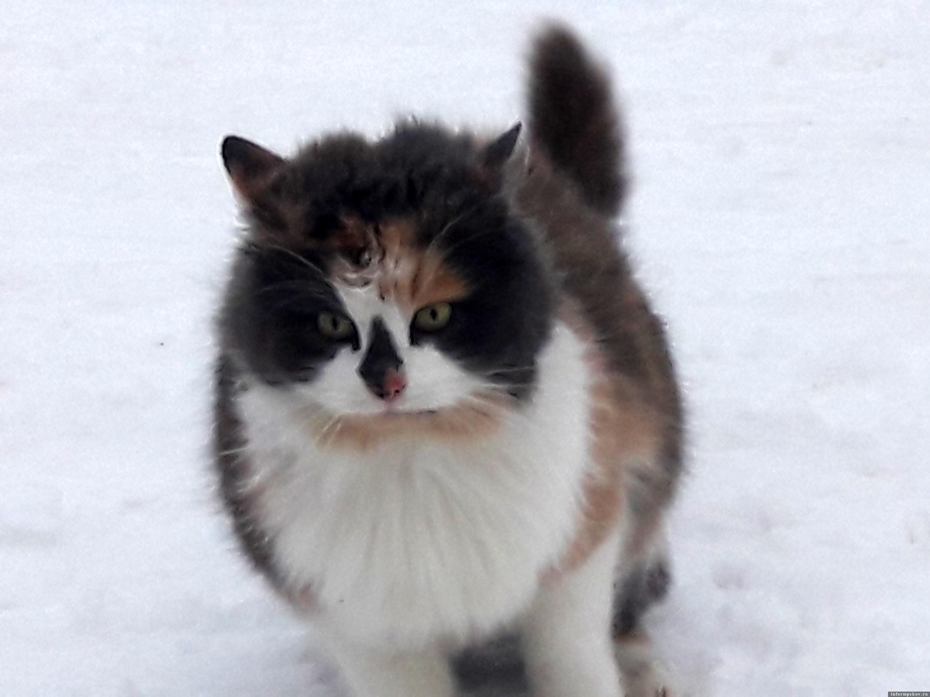 Для кота из Островцов теперь каждый день – масленица, рыболовы в угощении ему не отказывают. Фото автора.