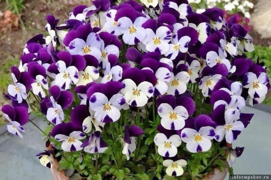В Пскове оформят цветами 240 вазонов. Фото Вконтакте