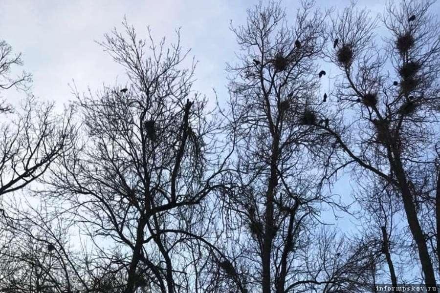 Гнездование ворон в детском парке. Фото ПАИ