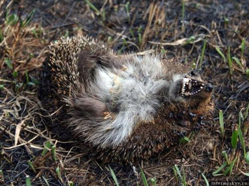 Еж, погибший от палов травы. Фото из открытых источников.