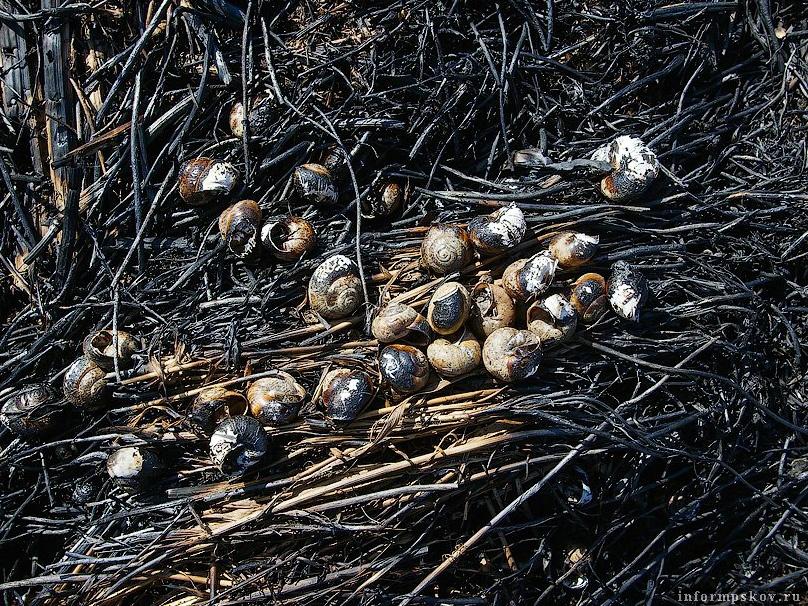 Сгоревшие улитки. Фото из открытых источников.