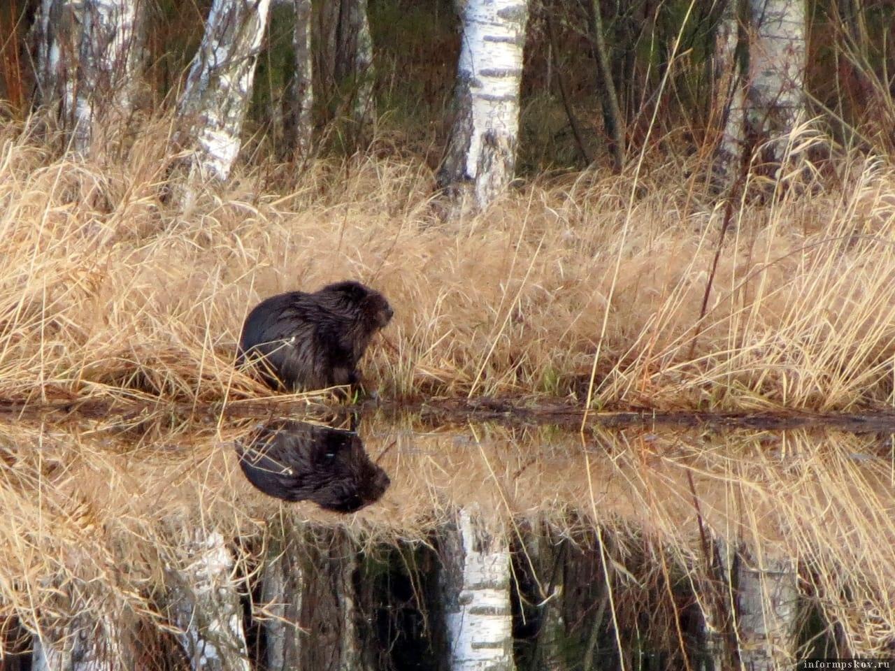 Бобров на Желче много и свою территорию они охраняют строго. Фото автора.