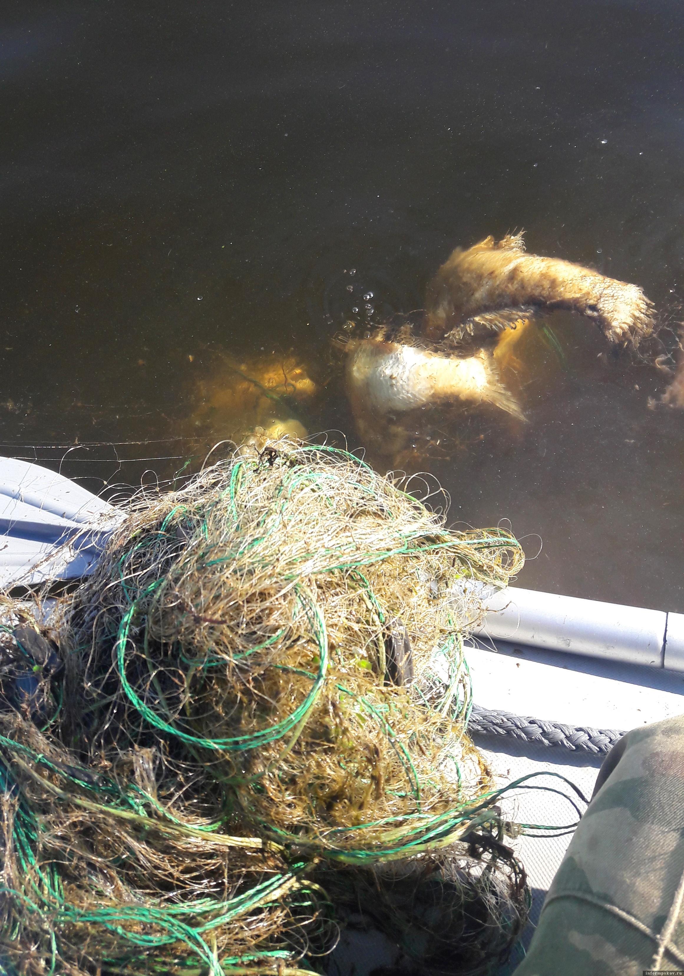 Гниющая в сетях рыба.Фото автора.