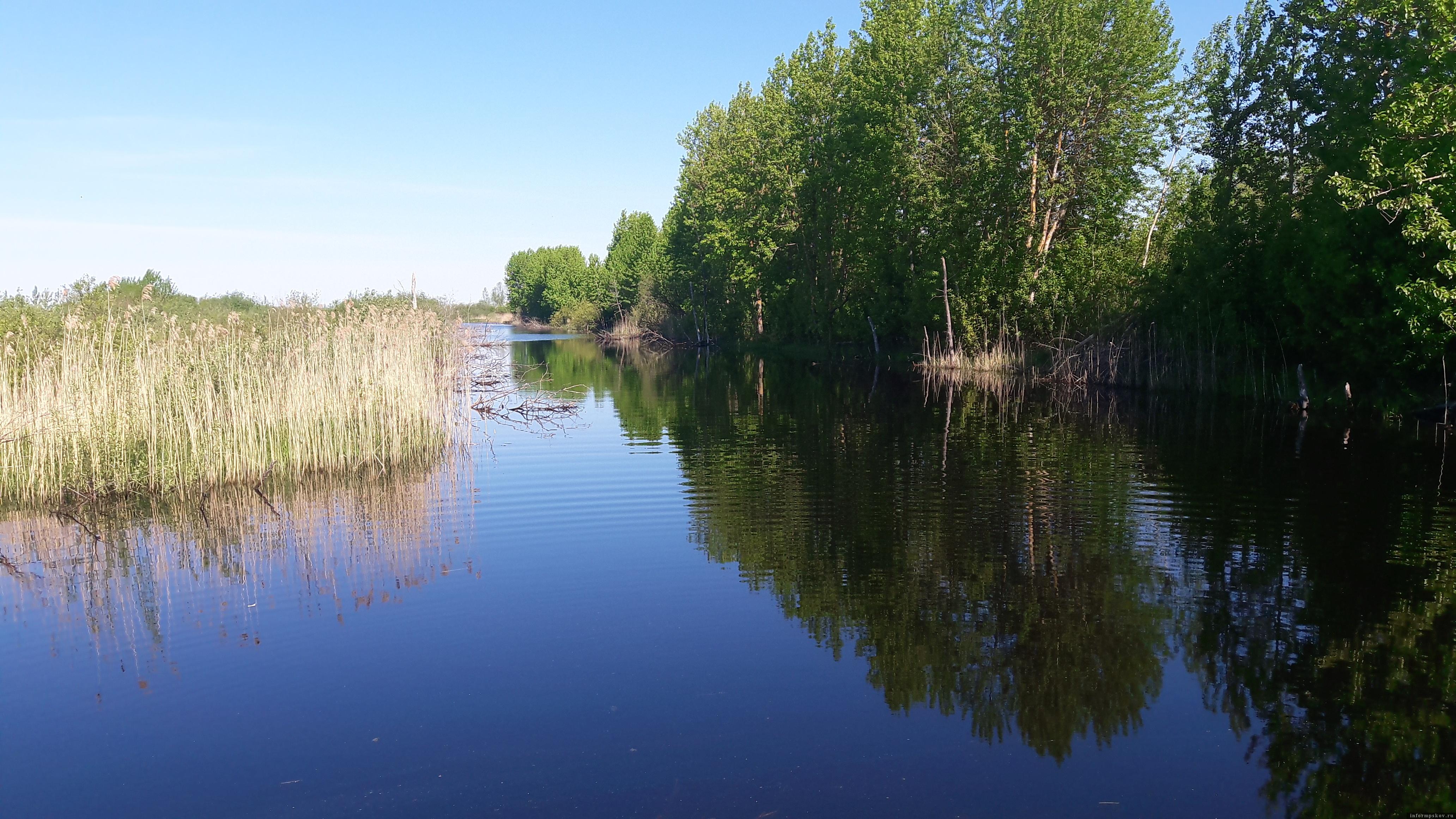 Каждую весну в печорские каналы заходит из Псковского озера огромное количество белого карася. Фото автора.