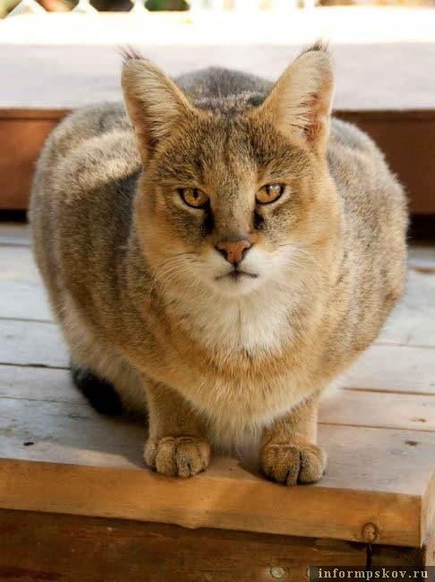 На фото - настоящий камышовый кот. Ну, очень похож на нашего ночного гостя. Фото из интернета