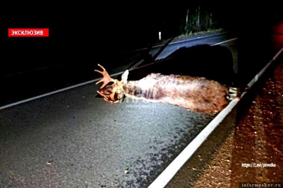 В Бежаницком районе водитель сбил неожиданно выскочившего на трассу лося. Фото ПАИ