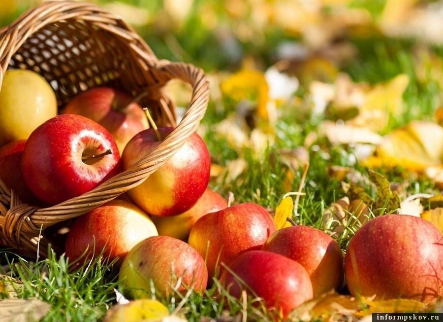 Урожай яблок в Псковской области оказался лучше, чем в Краснодарском крае