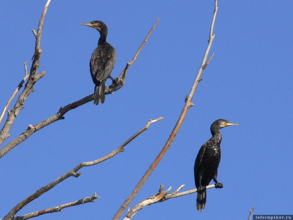 Утки, которые сидят на деревьях, вовсе и не утки, а большие бакланы. Их ещё называют чёрными гусями.