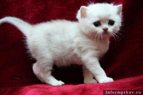 На фото: котёнок из питомника SunRay (Фото с сайта sunny-cat.ru)