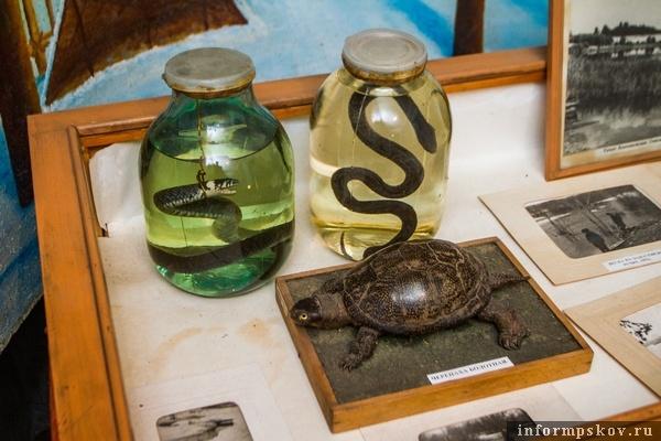 На фото: те самые заспиртованные змеи и себежская черепашка